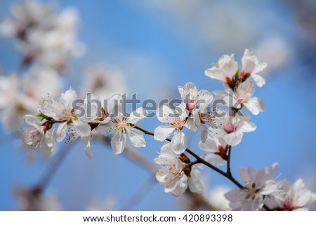 Closeup of  white peach blossom flower with blue sky background,selective focus .Natural concept.Natural background concept.