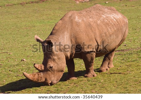 Closeup of White Rhinoceros (Ceratotherium simum simum)