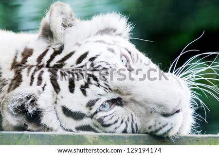 Closeup of white tiger head showing fur and whiskers - stock photo