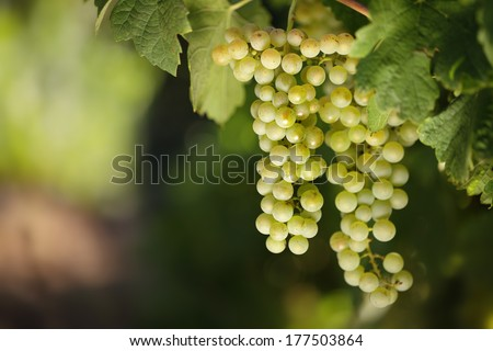 Closeup of white wine grapes on a lush green vine with blurred background