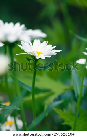 Closeup of wild daisy growing in the meadow. Shallow depth of field summer photography. Natural flower. - stock photo