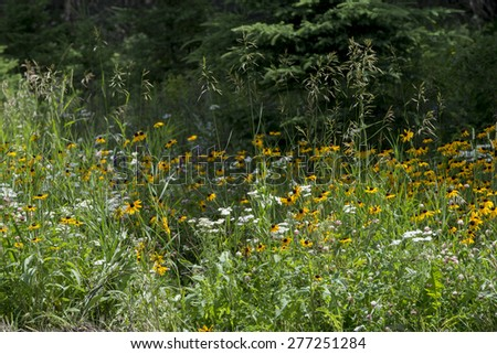Closeup of wild flowers in a field, Lake Audy Campground, Riding Mountain National Park, Manitoba, Canada