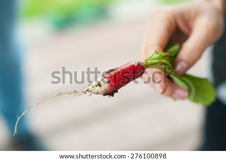 Closeup of woman hand holding fresh radish from her garden - stock photo