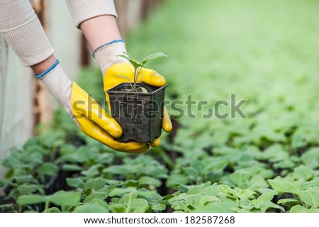 Closeup of woman hand with yellow gloves holding a pot with cucumber seedlings in a greenhouse - stock photo