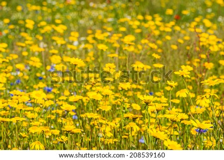 Closeup of yellow blooming corn daisy or Glebionis segetum plants in their natural habitat with other wildflowers. - stock photo