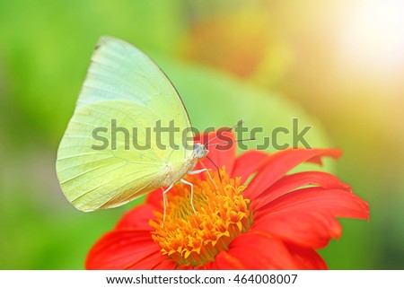 Closeup of yellow butterfly on a red flower with beautiful soft setting sun