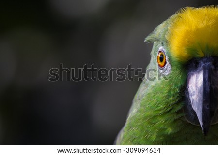 Closeup of yellow crowned amazon parrot of South America - stock photo