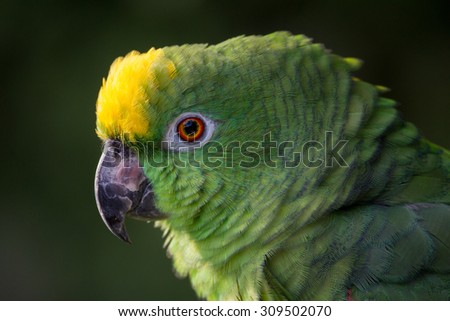 Closeup of yellow crowned amazon parrot of South America