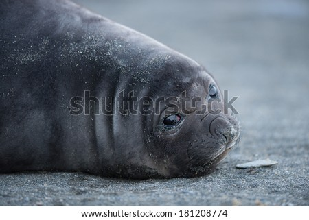 Closeup of young elephant seal in South Georgia, Antarctica. - stock photo