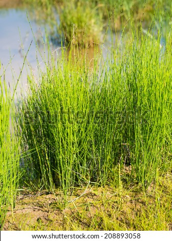Closeup of young Field Horsetail or Equisetum arvense plants in their natural habitat on the waterfront. - stock photo