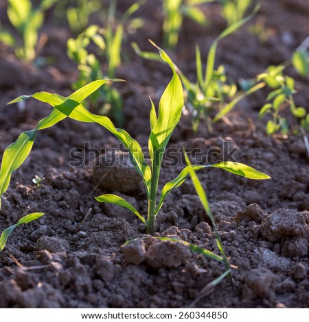 Closeup of young green corn seedlings in moist soil in a beautiful agriculture concept with gentle sunlight. - stock photo