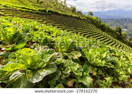 Closeup of young Kohlrabi or German turnip plants cultivated in the fertile soil of a small organic vegetable nursery with mountains as a background at Mon Jam, Chiang Mai - stock photo