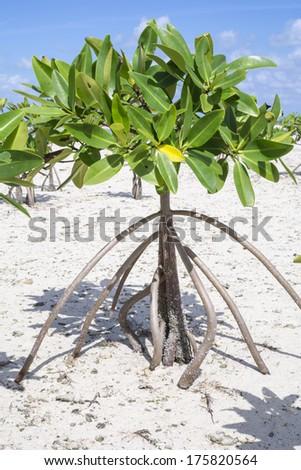 Closeup of young mangrove on sandy shore of Chacmuchuc lagoon on Isla Blanca, Quintana Roo, Mexico - stock photo