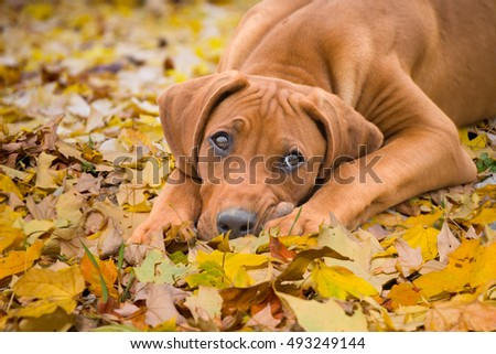 closeup of young rhodesian ridgeback puppy lying on the yellow autumnal leaves, looking up, dog portrait in autumnal forest