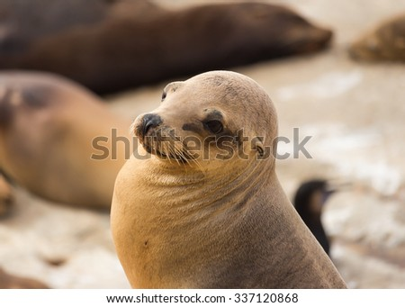 Closeup of young sea lion at La Jolla Cove in San Diego, California, The United States of America - stock photo