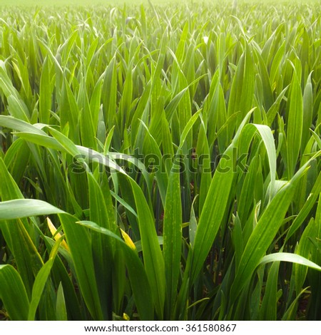Closeup of young wheat grass