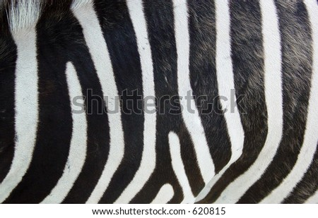 Closeup of zebra skin - stock photo
