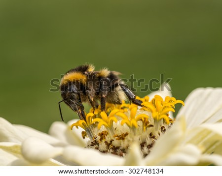 Closeup of zinnia flower with bee  - stock photo