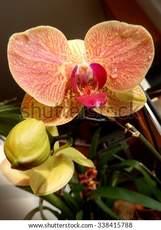 Closeup on an orange orchid with yellow buds and red center petal - stock photo