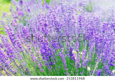 Closeup on beautiful gentle lavender flower on blurry purple background, soft focus, violet wildflower, summer time nature.  France, Provence - stock photo