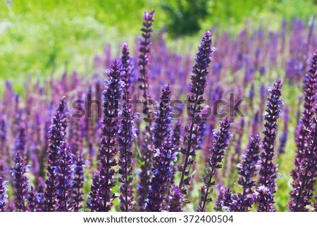 Closeup on beautiful gentle lavender flower on blurry purple background, soft focus, violet wildflower, summer time nature - stock photo