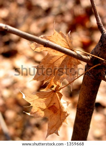 Closeup on brown dry maple leaves on young maple tree in winter; hues of brown