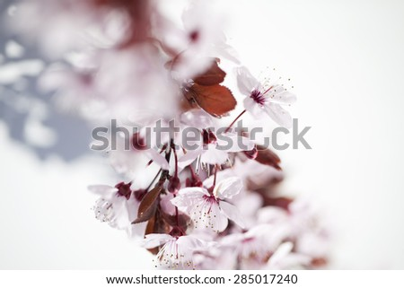 closeup on cherry blossom flowers for zen and inspiration from nature - stock photo
