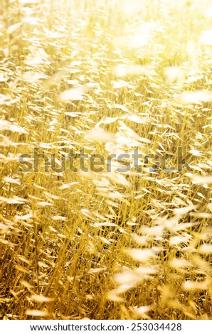 Closeup on dry wild spikes backlit with warm sunshine - stock photo