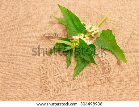 closeup on fresh green leaves nettle on background canvas