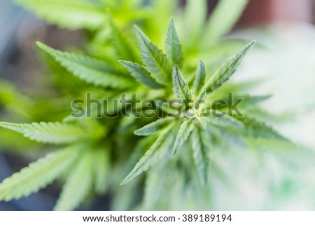 closeup on fresh green marijuana plants - stock photo