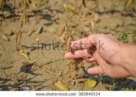 Closeup on hand in soy bean cultivated agricultural field background - stock photo
