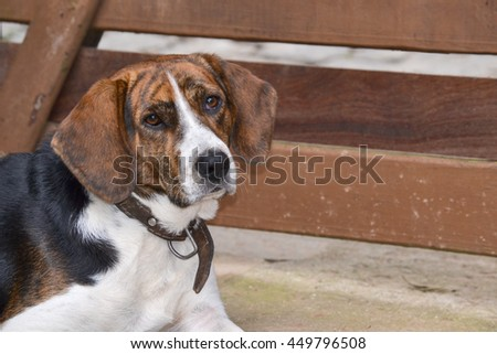 Closeup on head of half Beagle looking at the camera in front of wooden gate