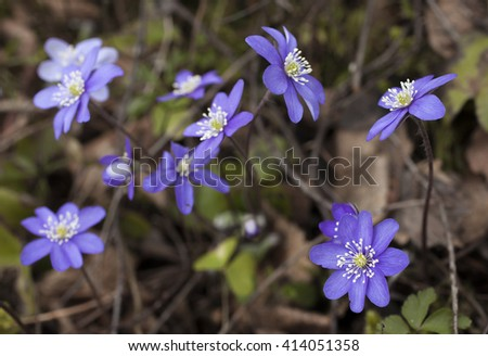 Closeup on kidneywort flowers. Shallow DOF, focus on flower at down right corner.  - stock photo