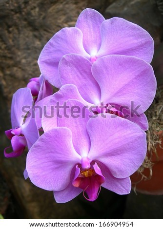 Closeup on radiant hot pink orchids in bloom                            - stock photo