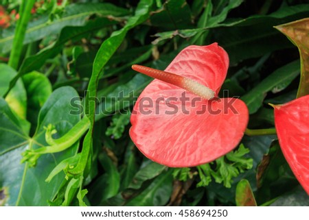 Closeup on red spadix flower in rainforest close up