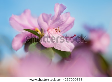 Closeup on rhododendron flower against blue sky, focus on petals - stock photo