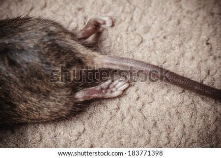 Closeup on the tail and body of a dead mouse - stock photo