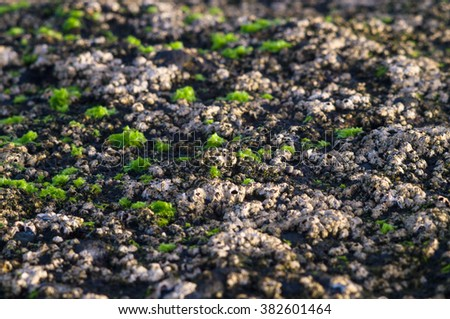 Closeup on volcanic coast overgrown of algae in morning sunlight - stock photo