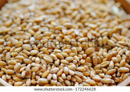 Closeup on wheat grains - stock photo