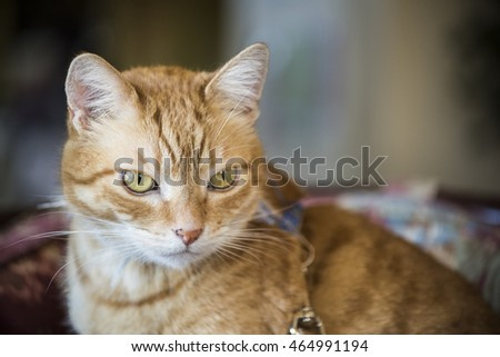 Closeup Orange tabby male cat with green eyes and leash staring and sitting on mauve chair