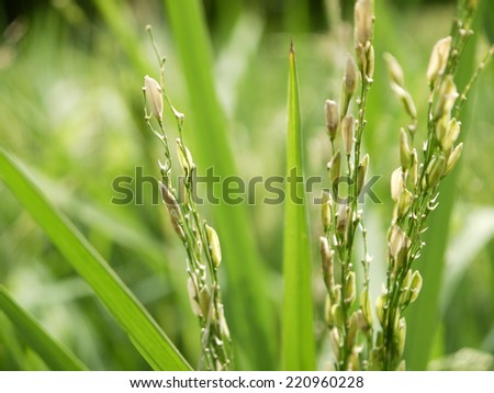 closeup Paddy rice - Rice field - plant - seed - stock photo