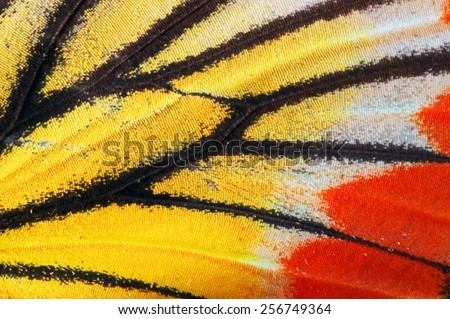 Closeup Painted Jezebel butterfly's wing.(Deilas hyparete) - stock photo