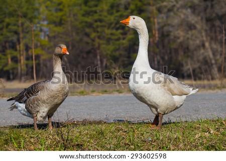closeup pair of gooses - stock photo