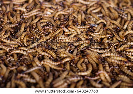 Mealworms stock images royalty free images vectors for Mealworms for fishing