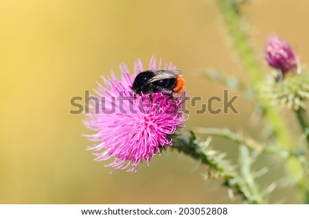 Closeup photo of a bumble bee on thistle in the field - stock photo