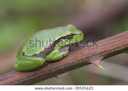 Closeup photo of a European Tree Frog (Hyla Arborea)