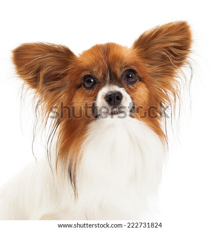 Closeup photo of a pretty sable and while color Papillon dog looking forward - stock photo