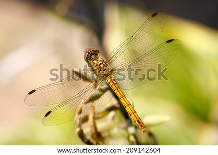 Closeup photo of a Vagrant Darter dragonfly (Sympetrum Vulgatum) resting on unidentified vegetation. - stock photo