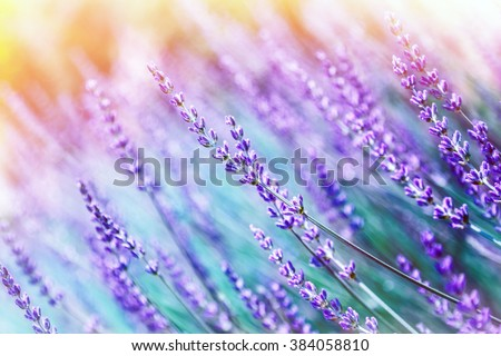 Closeup photo of beautiful gentle lavender flower field, abstract purple floral background, aromatic plant, beauty of spring nature - stock photo