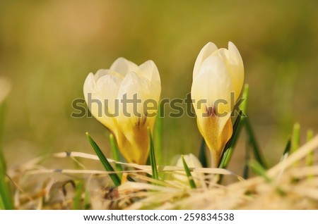 Closeup photo of crocus bud in early spring - stock photo